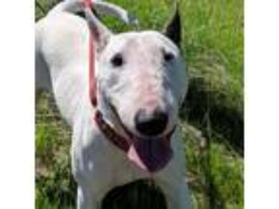 Adopt Lucy a White - with Black Bull Terrier / Mixed dog in Sunnyvale
