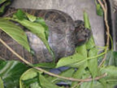 Adopt WATER a Turtle - Other / Mixed reptile, amphibian, and/or fish in Van