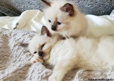 Beautiful Pure Breed Ragdoll Kittens