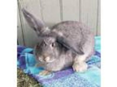 Adopt Blythe a Blue American rabbit in Morgan Hill, CA (23119884)