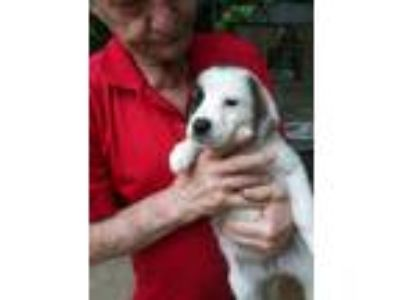 Adopt Goldilocks a Tricolor (Tan/Brown & Black & White) Basset Hound / Great