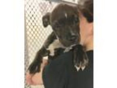 Adopt Tulip a Brindle - with White Boxer dog in Manhattan, NY (25608798)