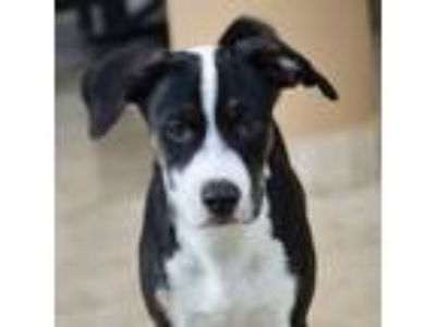 Adopt Cosmo a Greater Swiss Mountain Dog