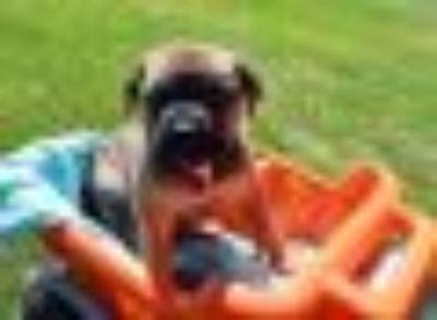 Beal German Shepherd Dog - Mastiff Dog