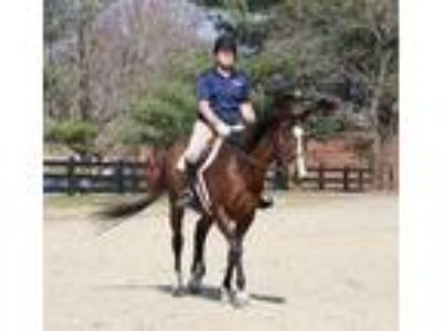 Adopt Gold Story (Goldie) a Bay Thoroughbred horse in Owings, MD (21826666)