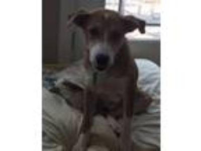 Adopt Clover a Tan/Yellow/Fawn Collie / Hound (Unknown Type) / Mixed dog in