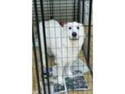Adopt Maggie a Great Pyrenees
