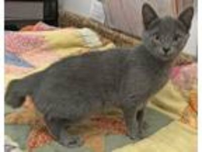 Adopt CHLOE A39300239 a Domestic Short Hair