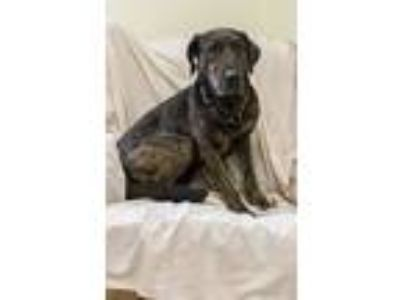 Adopt Morgan a Brindle Hound (Unknown Type) / Mixed dog in Odenville