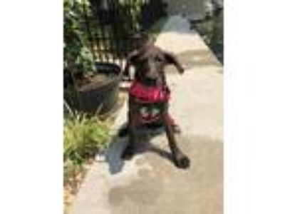 Adopt Cora a Brown/Chocolate - with White Great Dane / Labrador Retriever /
