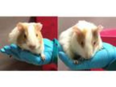 Adopt Chai and Oolong a Guinea Pig
