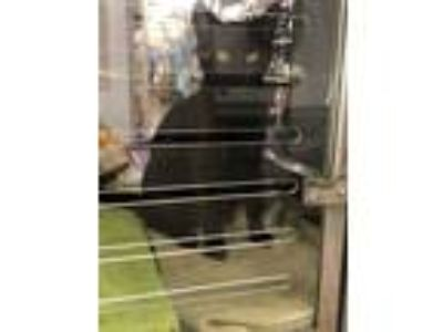 Adopt Jersey a All Black Domestic Shorthair / Domestic Shorthair / Mixed cat in