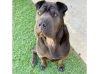 Adopt Kuntz - C.L. a Black Labrador Retriever / Shar Pei / Mixed dog in San