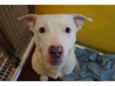 Adopt BUZZ a White Labrador Retriever / Mixed dog in Norfolk, VA (25884627)