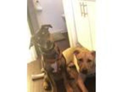 Adopt Roo and Kona a Brown/Chocolate - with Black Labrador Retriever / German