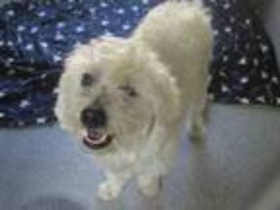 Adopt TOBY a Poodle