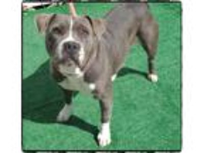 Adopt STELLA a Gray/Silver/Salt & Pepper - with White Pit Bull Terrier / Mixed