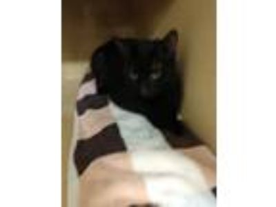 Adopt Bubs a All Black Domestic Shorthair (short coat) cat in Schenectady