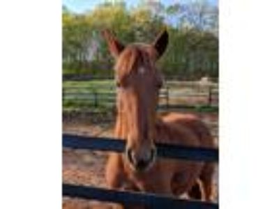 Adopt Robyn a Chestnut/Sorrel Quarterhorse / Other/Unknown horse in Cumming