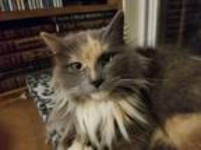 Adopt Mystic a Calico or Dilute Calico Domestic Longhair (long coat) cat in