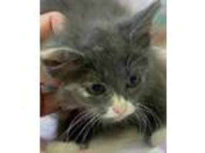 Adopt Zinnia a Calico or Dilute Calico Domestic Longhair / Mixed (long coat) cat