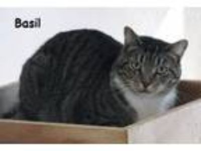 Adopt Basil a Domestic Short Hair, Tabby