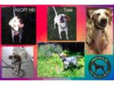 Adopt Needs Foster No Name (IN) a English Pointer