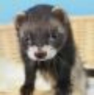 Birdie Ferret Small & Furry