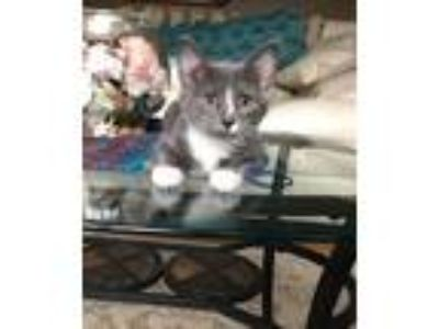 Adopt Graybe a Gray or Blue Domestic Shorthair / Mixed cat in St Paul