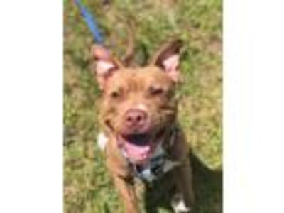 Adopt Billy Madison a Mixed Breed, Pit Bull Terrier