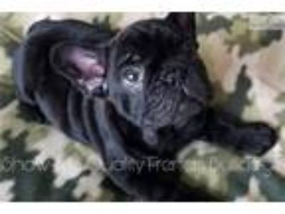 Black French Bulldog Puppy Available!