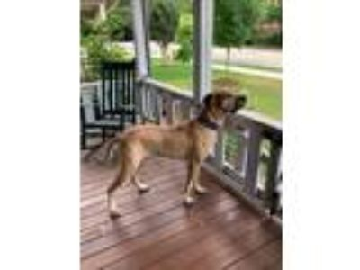 Adopt Marble a Tan/Yellow/Fawn Great Dane / Mixed dog in Iron Station