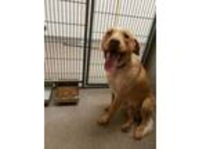 Adopt Smiley Joe a Red/Golden/Orange/Chestnut Labrador Retriever / Mixed dog in