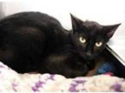 Adopt Aphrodite a All Black Domestic Shorthair / Domestic Shorthair / Mixed cat