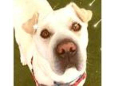 Adopt Bandit a Tan/Yellow/Fawn Shar Pei / Labrador Retriever / Mixed dog in