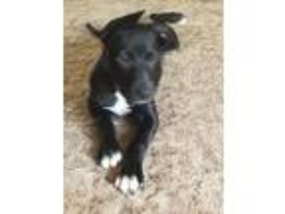 Adopt Lucky - I am a tri-pod a Labrador Retriever, Border Collie