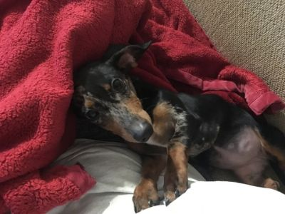 Dachshund PUPPY FOR SALE ADN-107923 - Just in time for Christmas