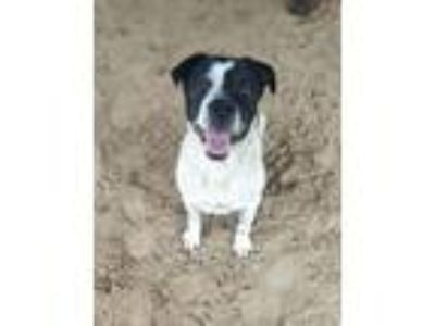 Adopt Hawkeye a Black - with White Labrador Retriever / St.