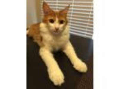 Adopt Mila a Orange or Red Calico / Mixed cat in Fullerton, CA (24142224)