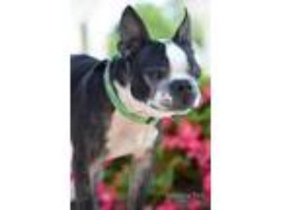 Adopt Available BUDDY BEAR a Black Boston Terrier / Mixed dog in Greensboro
