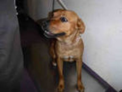 Adopt MINA a Red/Golden/Orange/Chestnut - with White Rottweiler / American Pit