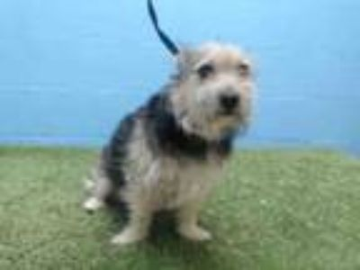 Adopt TEDDY a Yorkshire Terrier, Mixed Breed