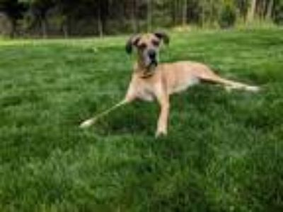 Adopt Kirby a Great Dane