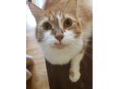 Adopt Jojo a Orange or Red (Mostly) Domestic Longhair / Mixed cat in Bowling