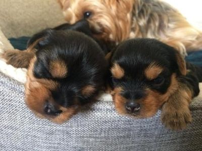 Yorkshire Terrier PUPPY FOR SALE ADN-95403 - Yorkie Puppies Pure Breed