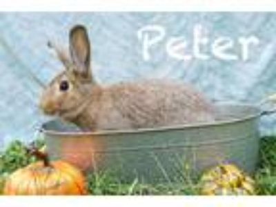 Adopt Peter a Agouti Other/Unknown / Mixed (medium coat) rabbit in