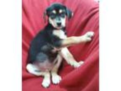 Adopt Angy a Tricolor (Tan/Brown & Black & White) Hound (Unknown Type) / Beagle
