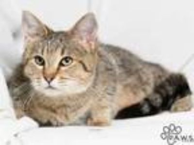 Adopt Farrah a Gray or Blue Domestic Shorthair / Domestic Shorthair / Mixed cat