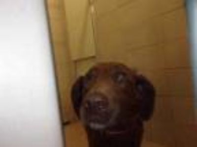 Adopt Sasha-rv in tray a Brown/Chocolate Retriever (Unknown Type) / Mixed dog in