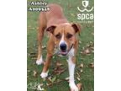 Adopt Ashley a Pit Bull Terrier